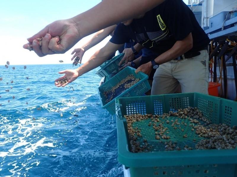 現在放流注重保密,只說明在湖西海域放流象牙鳳螺。(澎湖海洋生物研究中心提供)
