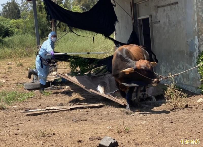 防疫人員小心翼翼為牛隻注射疫苗。(記者吳正庭攝)