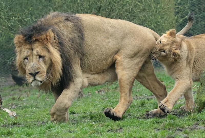 慾求不滿的母獅追著公獅跑,並咬住公獅蛋蛋,而公獅的表情相當疲憊。(攝影師Johanna Kok授權提供)