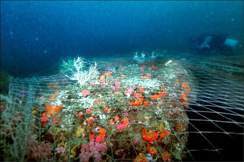 台灣灘海域不是只有海砂,也有許多海洋生物。圖為台灣灘的珊瑚遭漁網覆蓋,研究人員推測是中國滾輪式拖網曾在此大肆撈捕作業。(圖:鄭明修提供)