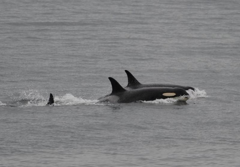 虎鯨媽媽塔勒夸(前)守護夭折幼鯨屍體伴游至少17天的母愛舉動在2018年引起全球關注。(美聯社)