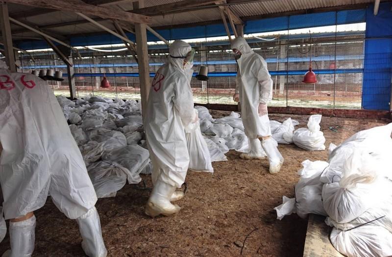 台南市動保處今天針對感染高病原性禽流感的下營雞場啟動撲殺清場作業。(記者楊金城翻攝)