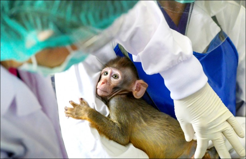 莫德納疫苗的動物實驗結果成功,證實能激發雙重免疫反應,有效對抗疫情。圖為恆河猴檔案圖。(法新社)