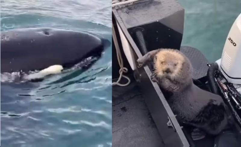 一隻海獺為了躲避虎鯨追殺,竟直接跳上觀光船的船尾。(擷取自「Coldwater Alaska」臉書粉專)