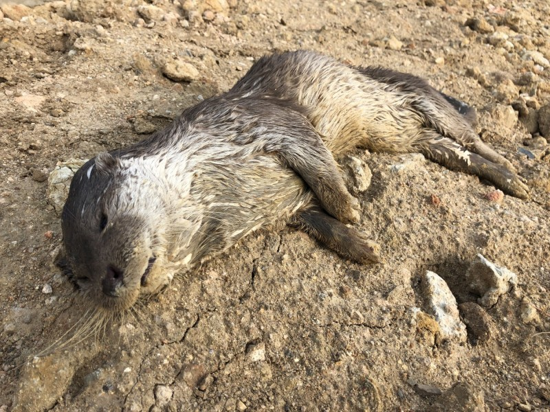 金門3月於金沙鎮浦邊農塘發現死亡水獺。(金門縣政府提供)