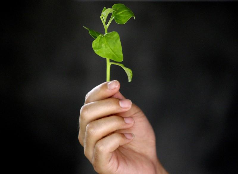 法國有一戶人家,一家四口誤將曼陀羅花葉子當做是紐西蘭菠菜,結果4人全部中毒,圖為紐西蘭菠菜。(路透)