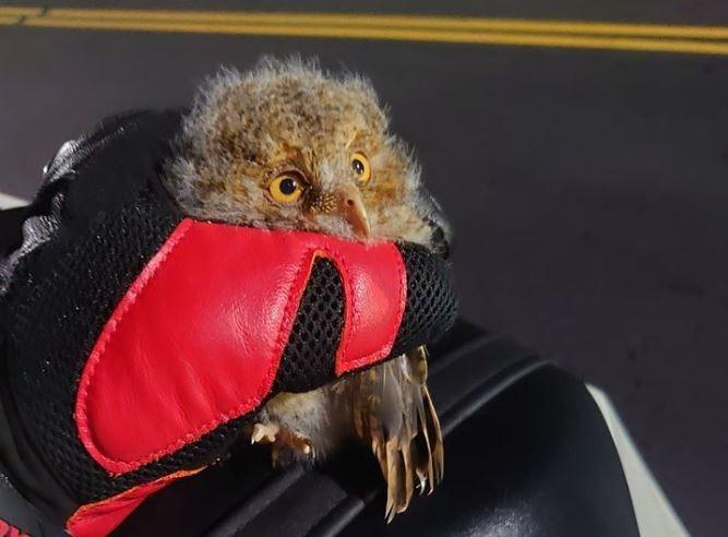 原PO貼出騎車撿到的貓頭鷹幼鳥。(圖擷自爆怨公社)