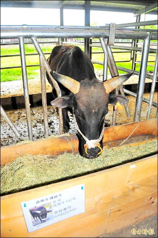 李登輝基金會在兆豐農場租牛舍飼養台灣和牛—源興牛。(資料照,記者花孟璟攝)