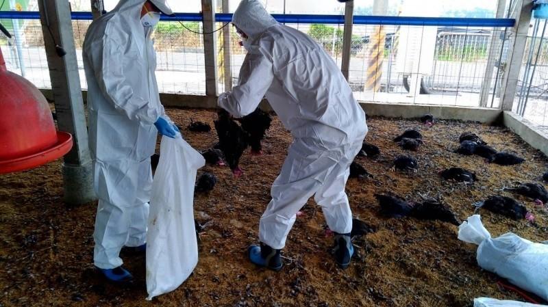 古坑1養雞場爆禽流感 6萬多隻全數撲殺