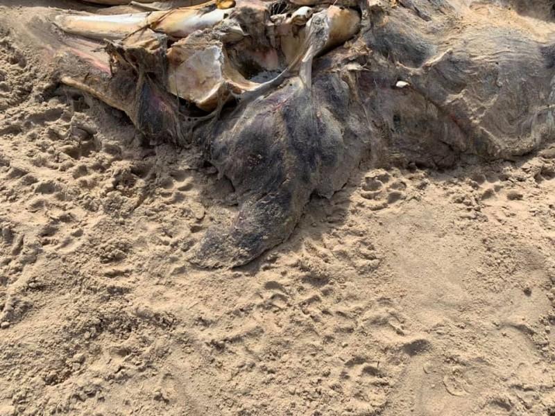 不明生物遺骸表面附有毛皮,以及鰭狀前肢。(圖取自Ainsdale Facebook)