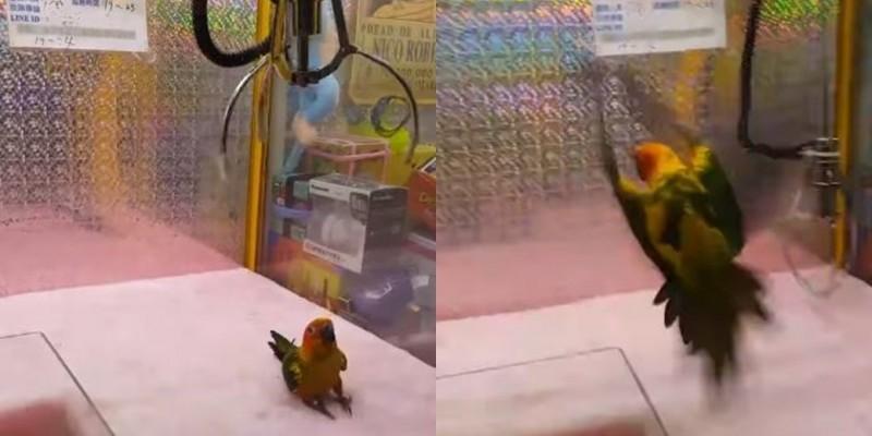 活體鸚鵡被放入娃娃機內當獎品,驚恐地閃躲機爪。(圖取自「ONLY1 鸚鵡抱抱~愛鳥的社團」)