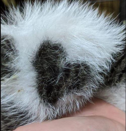 原po曬出自家喵星人小時候的模樣,可以看到牠有愛心花紋。(圖擷自爆廢公社公開版)