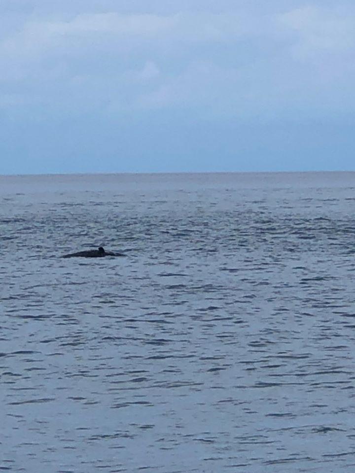海洋悲歌!台東太麻里近海驚見巨大鯨魚浮屍