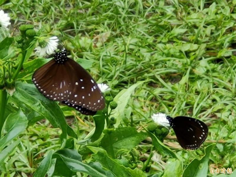蝴蝶能在「蝴蝶迷宮」快樂棲息覓食,遊客也能就近觀賞。(記者佟振國攝)