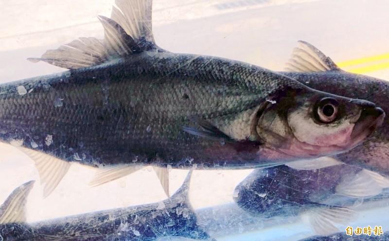日月潭曲腰魚又稱「總統魚」,嘴巴像人類「戽斗」狀,是該魚的一大特徵。(記者謝介裕攝)