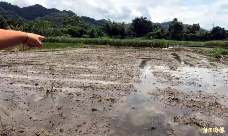 南投縣名間鄉周姓稻農在自家稻田被雷劈中不治。(記者謝介裕攝)