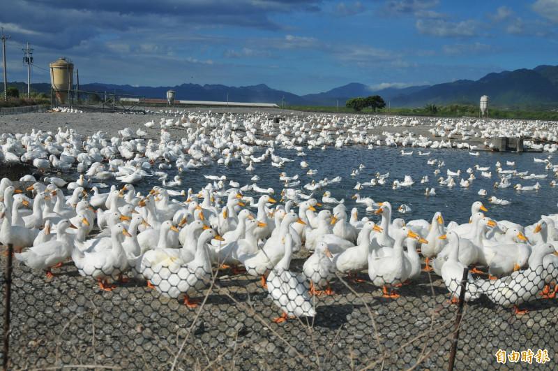 位於秀姑巒溪上游的玉里鎮三民地區的養鴨場,目前有13場共養殖69000隻,多採開放式飼養。(資料照,記者花孟璟攝)