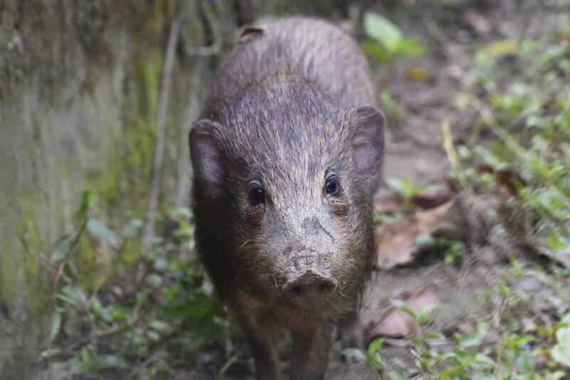 非洲豬瘟5月在印度爆發,研究人員擔憂世界上最小豬種「侏儒豬」染疫,繁殖中心進出管制。(美聯社)