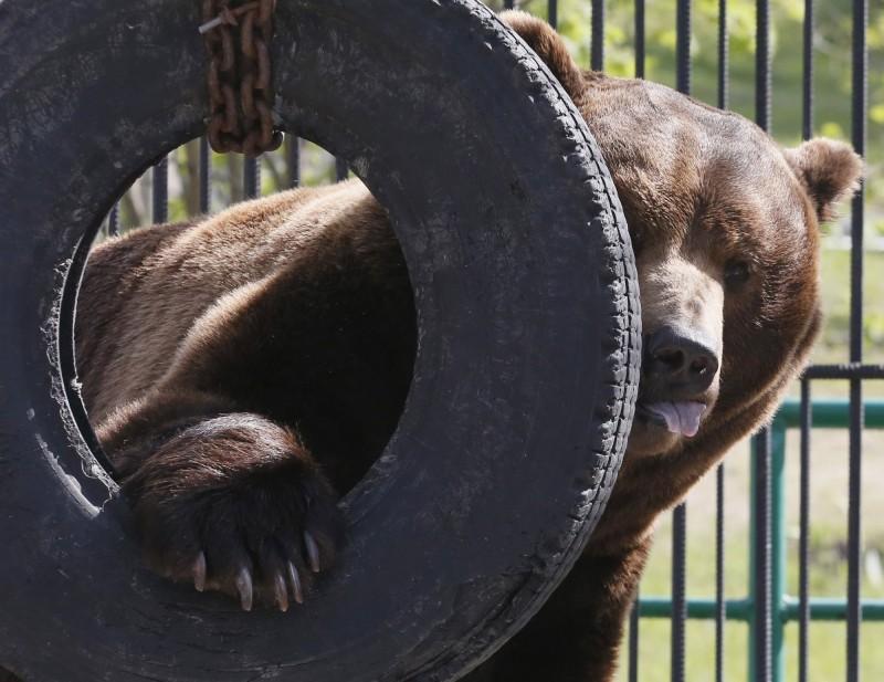 11歲男童挑釁棕熊被拖入鐵籠慘死! 2熊遭園方擊斃