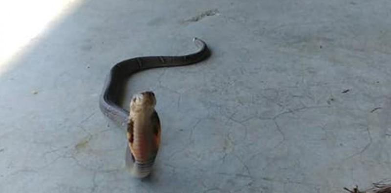 1條巨大的眼鏡蛇闖入農舍,被網友發現「對著鏡頭賣萌」。(張菈菈提供)