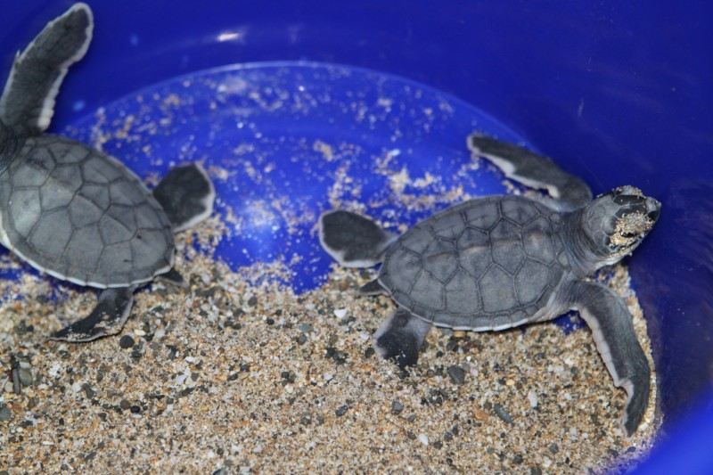 大灣沙灘北端某遊客罕至處,出現24隻孵化的小海龜。(記者蔡宗憲翻攝)