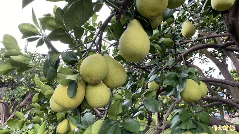 麻豆文旦結實累累,8月下旬盛產。(記者楊金城攝)