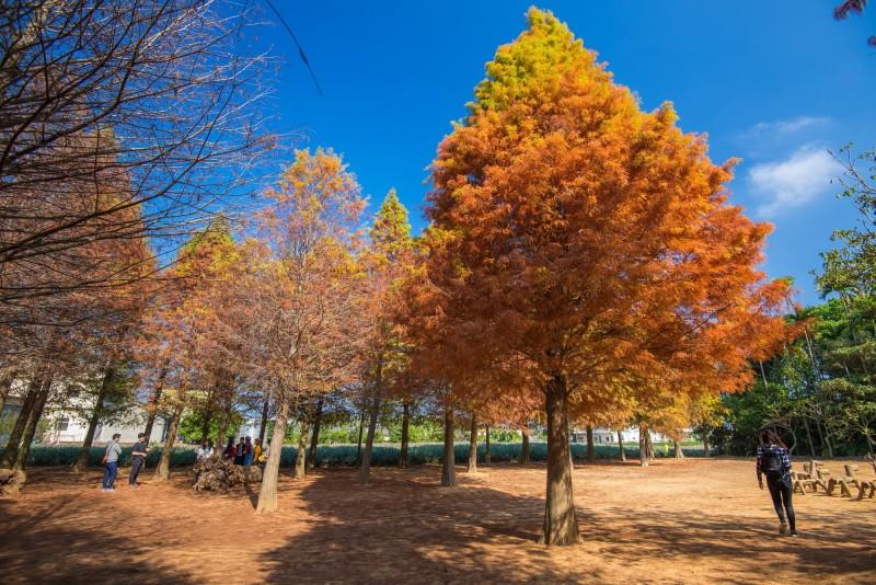 南投旺來產業園區將種植146株落羽松,圖為南投市落羽松祕境。(圖由曾姓民眾提供)