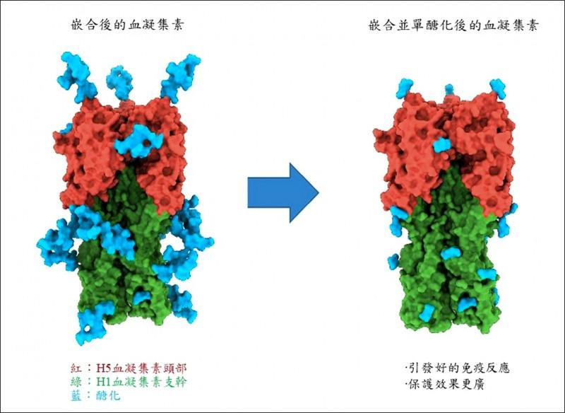 疫苗經過單醣化技術後,可修飾掉多餘的醣(藍色部分),讓不易突變區域露出,利於人體免疫系統辨識,引起更好的保護效果。 (中研院提供)