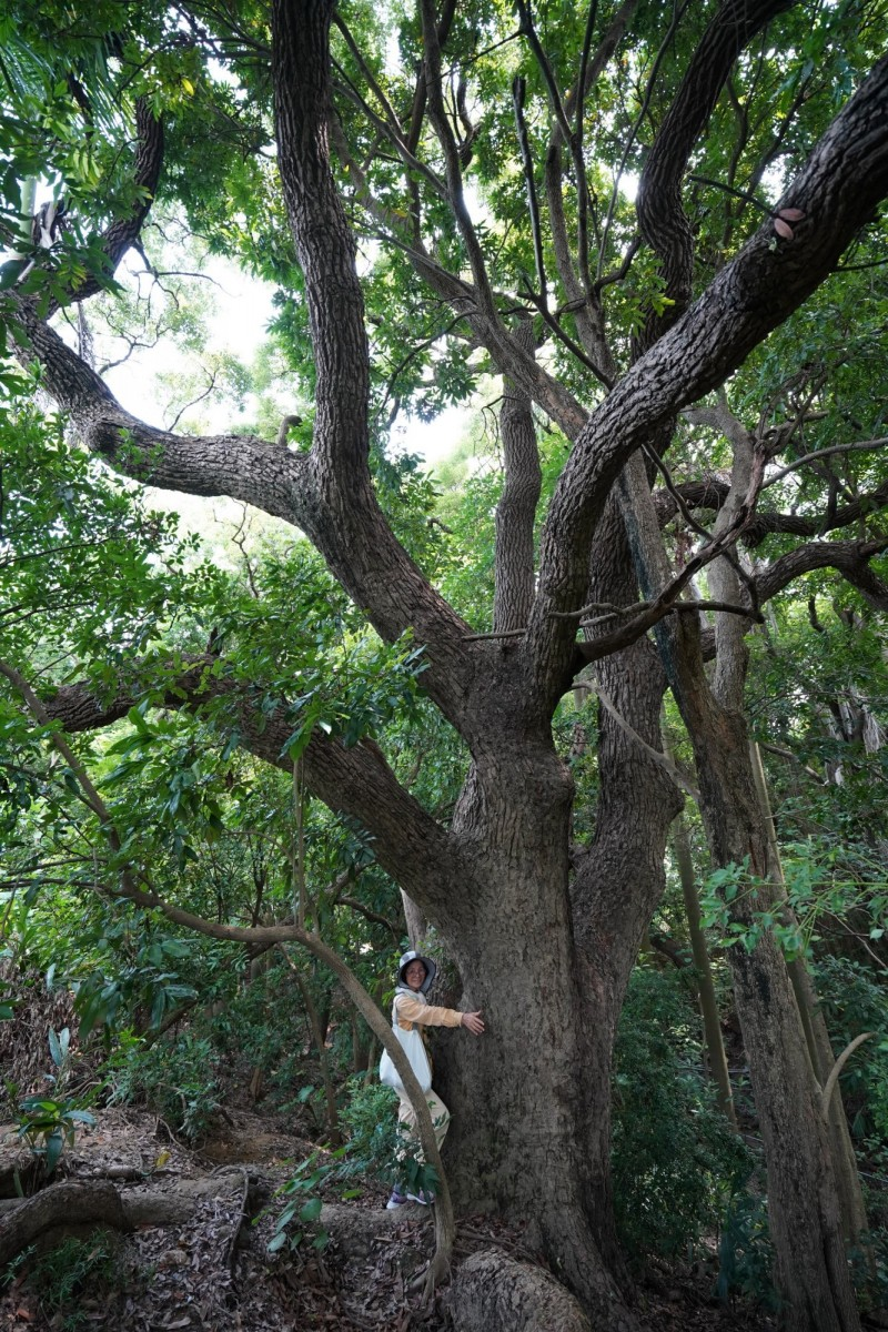 環保團體踏查哈赫拿爾森林發現一棵大樟樹,得3至4人才能環抱。(圖由吳仁邦提供)
