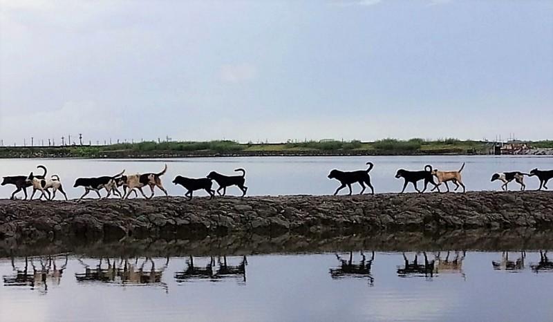 台南市大北門區流浪犬問題多,這張照片中數一數有12隻流浪犬成縱隊走過魚塭。(洪有志提供)