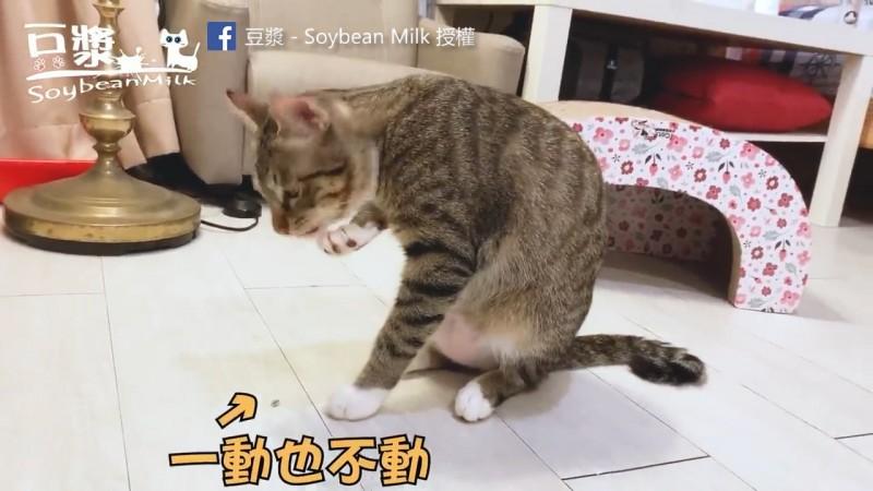 奴才沒想到跟貓咪玩耍的竟然是毒蟲。(粉專豆漿- SoybeanMilk 授權)