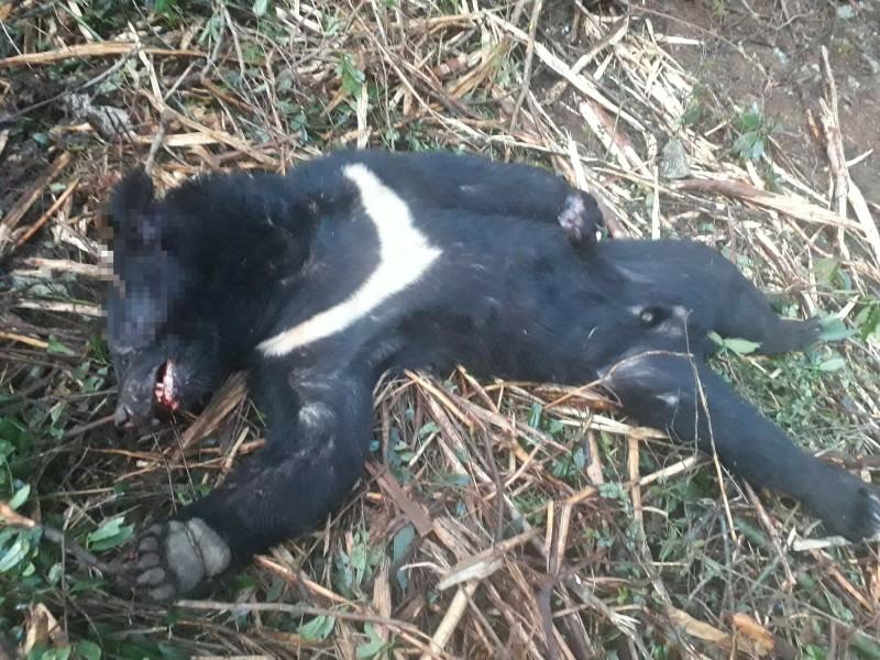檢警調查涉嫌盜伐珍貴林木的山老鼠集團,在何姓嫌犯手機中發現有台灣黑熊屍體的照片,意外查出他殺了一隻目前已瀕臨絕種的保育類野生動物。(新竹林管處提供)