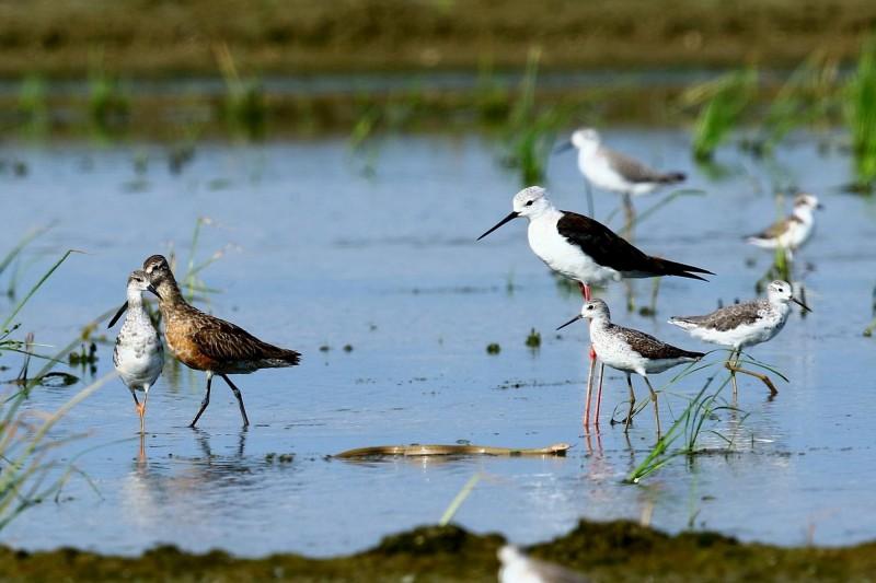 王錦蛇闖入水鳥群棲地,鳥兒竟然十分淡定,完全無視牠的存在。(圖由李正峰提供)