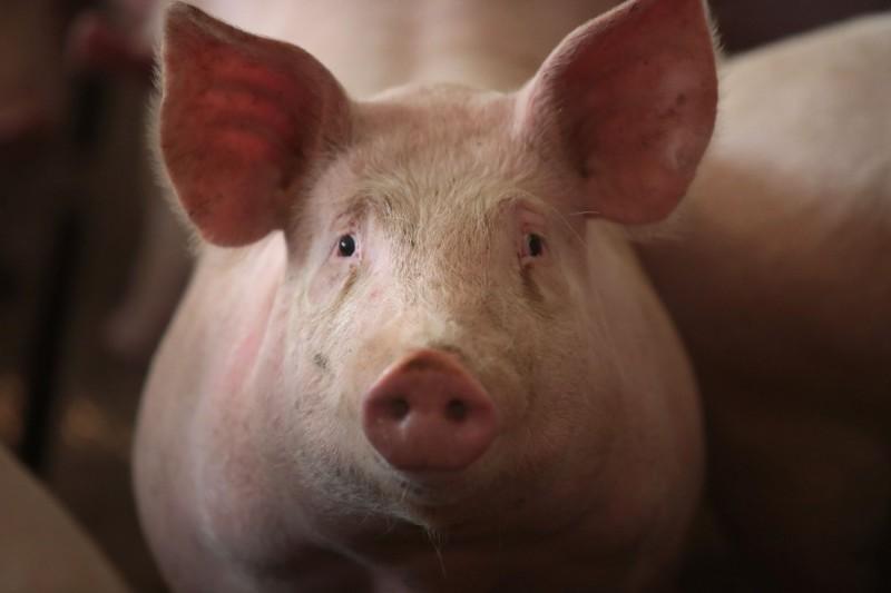 中國因為非洲豬瘟使國內養豬戶蒙受損失,現在又打算在阿根廷成立豬肉生產基地。示意圖。(法新社)