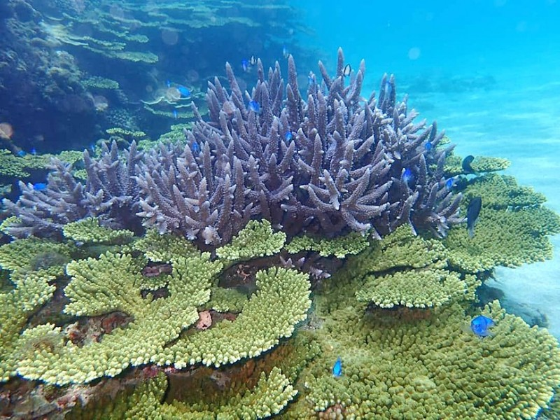 A coral colony is pictured in waters off Dongyuping in Penghu County on Sunday last week. Photo courtesy of a reader