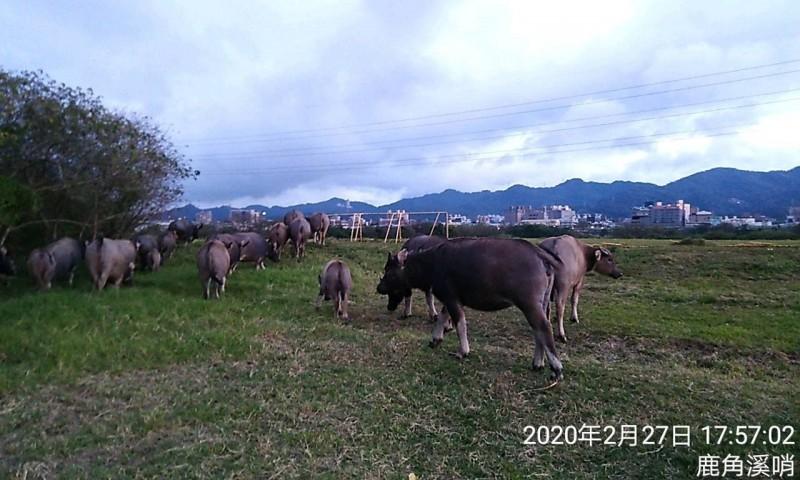 當地民眾表示,在下午的鹿角溪草原能夠看到水牛出沒。(圖由新北市高灘地管理處提供)