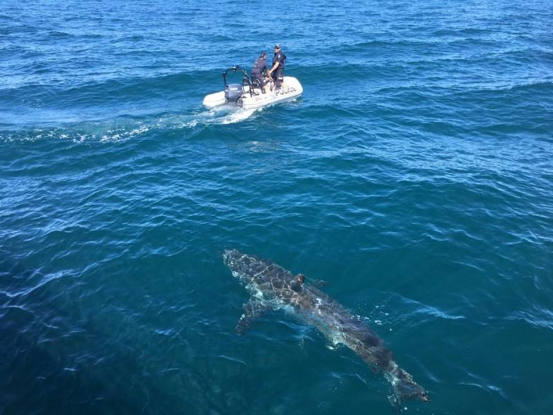 澳洲女子在衝浪時遭到鯊魚襲擊猛咬,她的丈夫見狀急得跳到鯊魚身上瘋狂開扁,成功救回愛妻的性命。澳洲鯊魚示意圖。(路透)