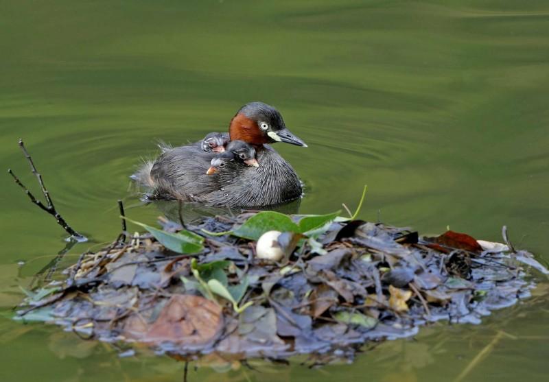可愛的小鷿鷉雛鳥破殼出生,親鳥爸媽還背雛鳥悠游,一家6口樂融融。(照片由拍鳥俱樂部成員游金環提供)