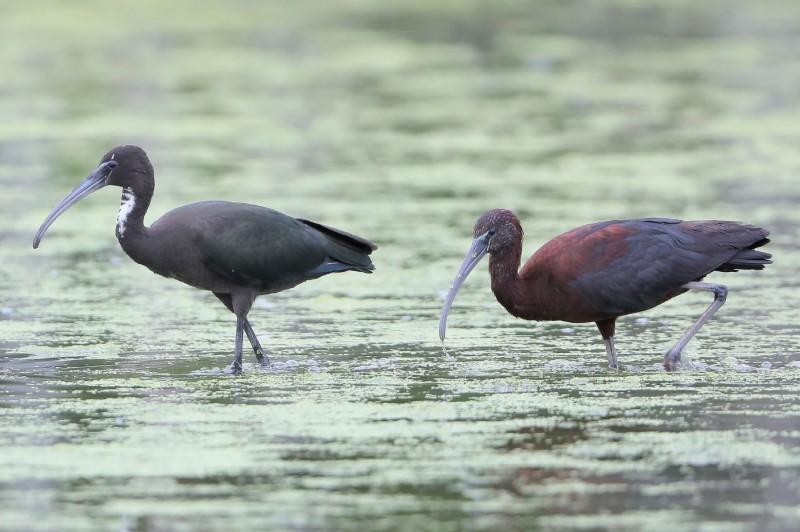台灣稀有迷鳥彩鹮疑在台灣落地生根,幼鳥(左邊)更是首度現踪。(拍鳥俱樂部鳥友邱安宗提供)