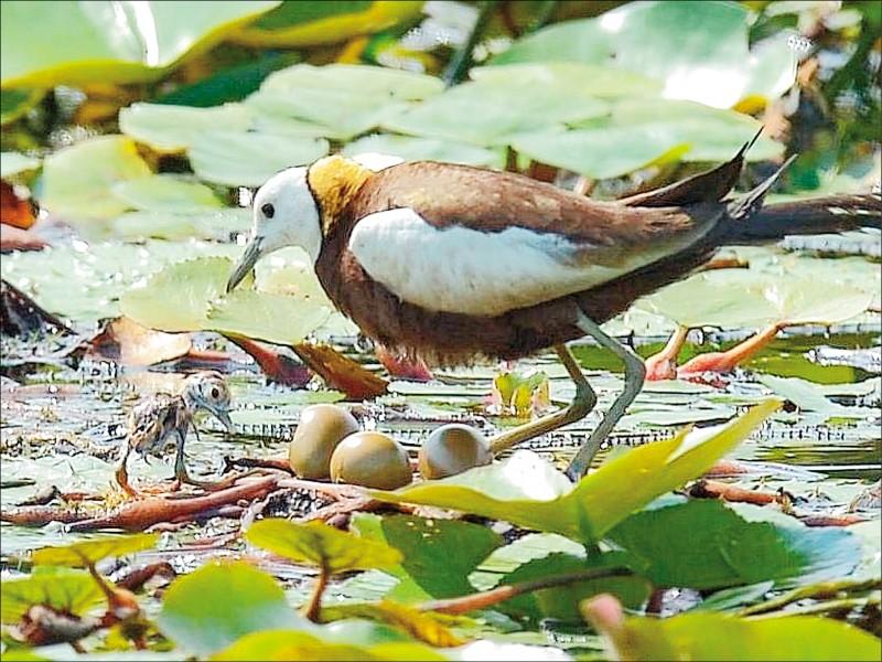 水雉是由公鳥負責抱卵及育雛,堪稱是「超級奶爸」。(鄭惠雅提供)