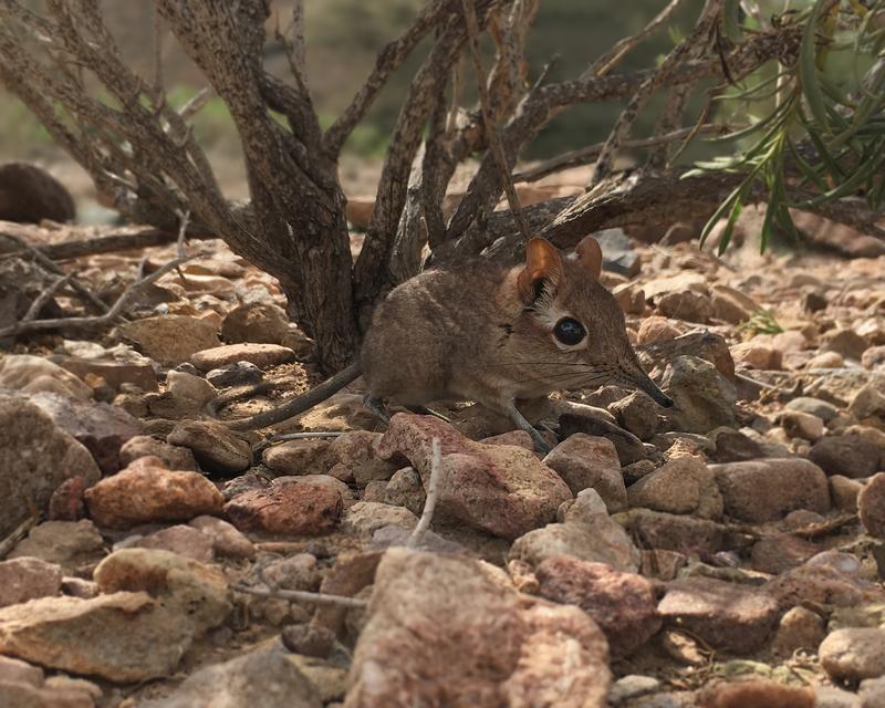 消失50年的索馬利象鼩,現身在非洲國家吉布地。(圖取自「全球野生動物保育機構Global Wildlife Conservation」)