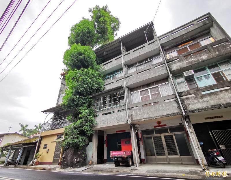 二水鄉員集路上有一棵樹齡305年的土芒果樹,夾在兩間4樓透天厝中間縫隙生長,但芒果樹不受空間影響,多年來不斷成長,已有6樓高。(記者陳冠備攝)