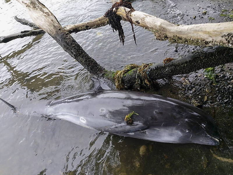 模里西斯驚見14頭海豚擱淺亡,由於當地海豚大量擱淺情況罕見,當局將解剖以釐清是否與油輪漏油事件有關。(歐新社)