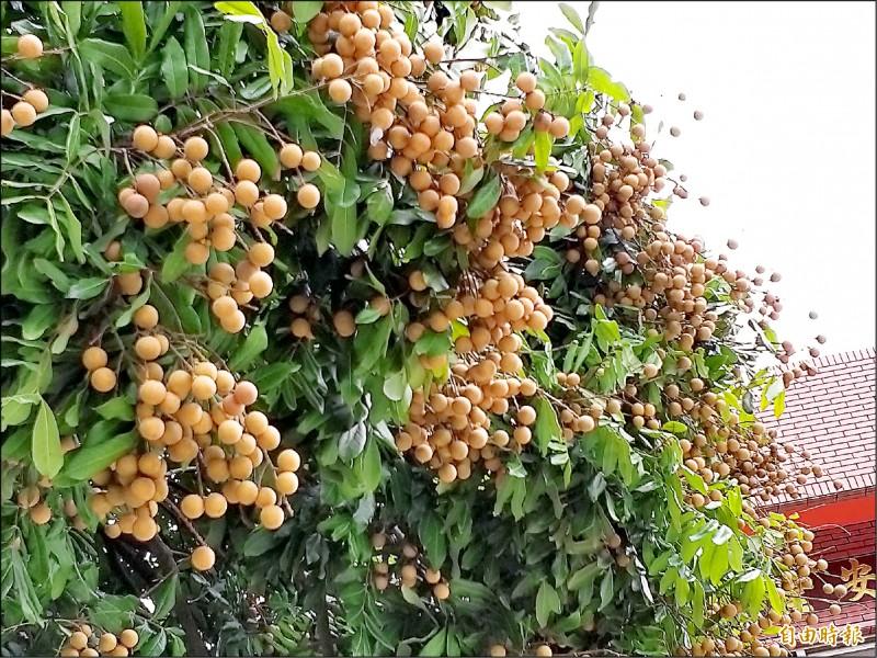 湖南秘境巡禮,110年的龍眼樹,免費供體驗採果樂趣。(記者廖雪茹攝)