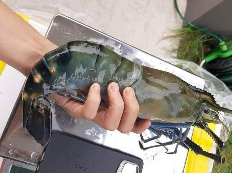 原PO貼出1隻巨無霸泰國蝦,引發網友議論。(圖擷自爆廢公社公開版)