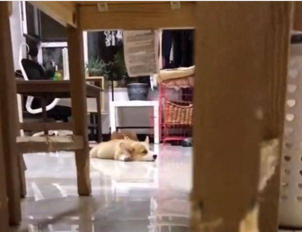 柯基犬在遠方趴著,一臉事不關己的樣子。(圖擷自爆廢公社)