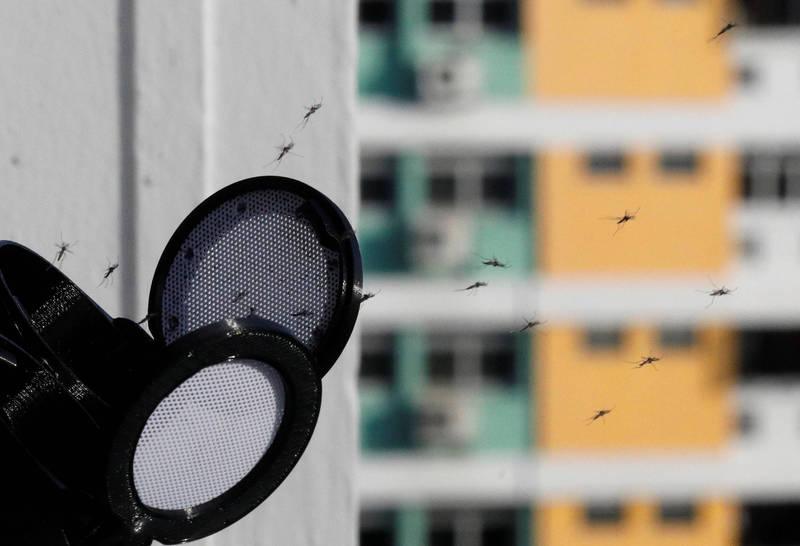 新加坡釋放沃爾巴克氏雄蚊,以對抗嚴重的登革熱疫情。(路透)