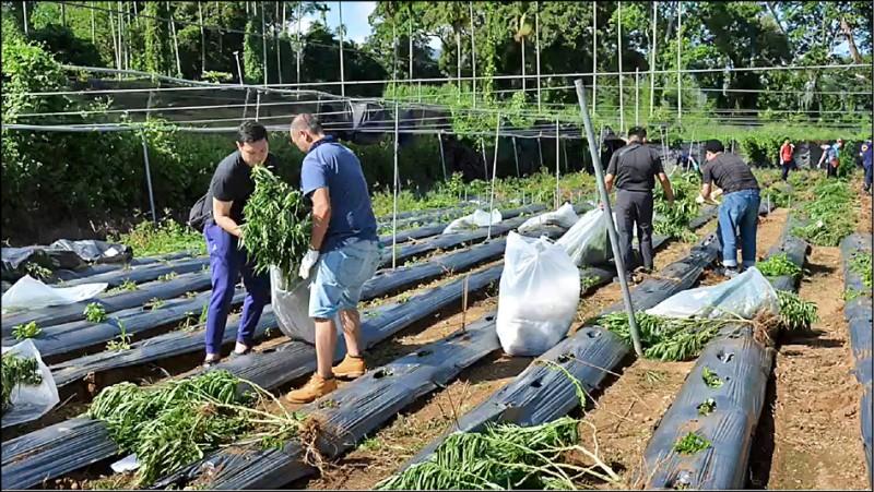 大麻種植於茶、薑與檳榔等農作物之間,警方逐一拔除銷毀。(記者張瑞楨翻攝)