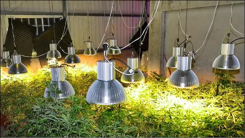 劉達涉嫌於自宅內,用植物燈種植大麻。(記者張瑞楨翻攝)