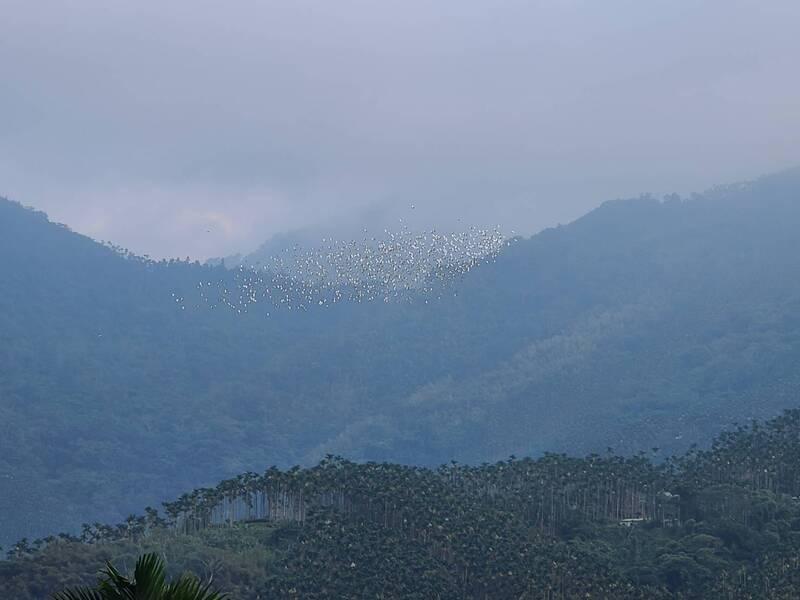 嘉義縣梅山鄉太興村今年「萬鷺朝鳳」的壯觀畫面。(記者蔡宗勳翻攝)